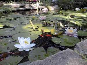 Water Lillies at first pond