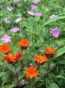 Lychnis, 'Orange Gnome' in front of Cranesbill