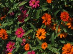 Flashy Zinnias