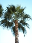 Arizona Palm Tree