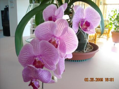 Paleanopsis Orchid