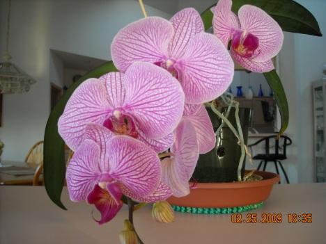 Paleonopsis Orchid Blooms