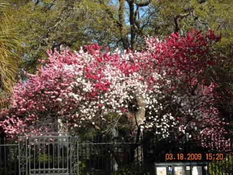 Charleston in Bloom