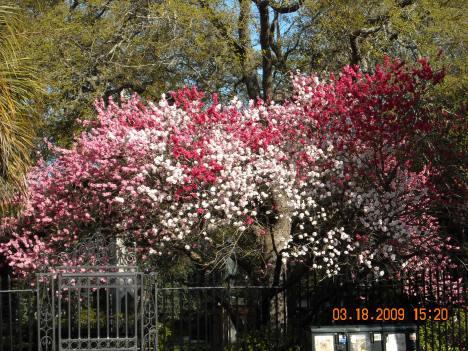 Charleston in Bloom