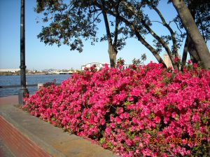 Red Azaleas on River Street, Savannah, GA