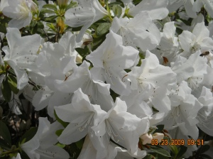 Really White Azaleas