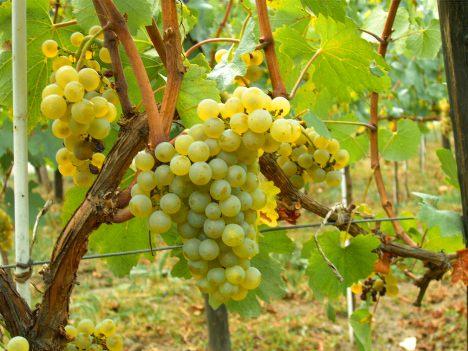Chardonnay_Moldova