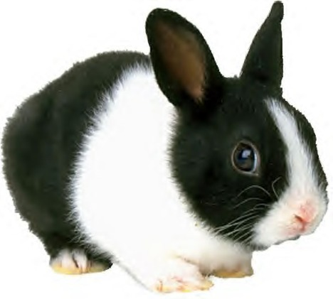 Black_and_white_rabbit_orig
