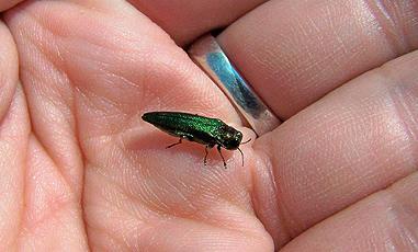 EmeraldAshBorer2