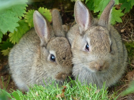 Wild_Rabbits_at_Edinburgh_Zoo