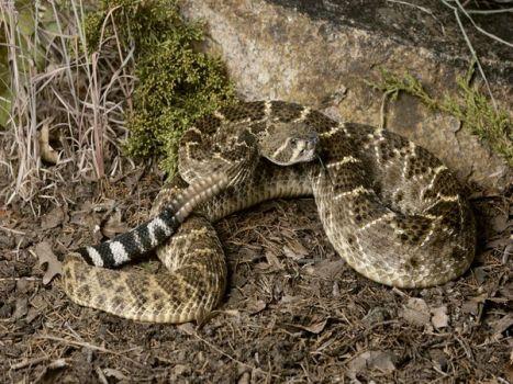 rattlesnake-western-diamond_5854_600x450