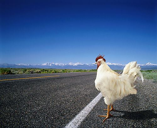 chicken-cross-the-road.jpg