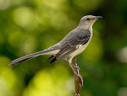 northern_mockingbird_4.jpg