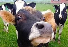 dairy-manure1